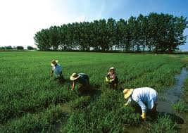 Tesis Ilmu Pertanian [Kode O.12]  Disertasi Pertanian [ Kode D. 04] Ilmu Pertanian
