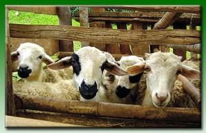 Tesis Peternakan [Kode TP. 47]  Alternatif Penambahan Suplemen Hayati Untuk Meningkatkan Pertumbuhan Udang Lobster Air Tawar (cherax quadricarinatus) peternakan domba 1